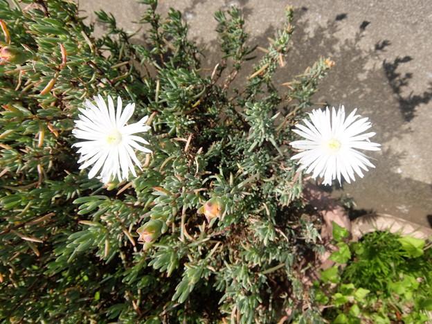 白花松葉菊