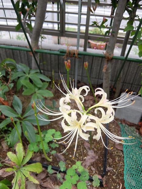 白花マンジュシャゲ
