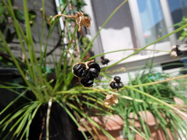 黄花ハナニラの種・1