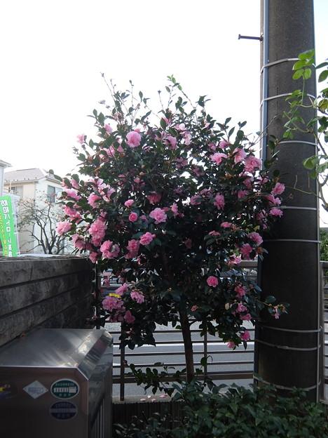 サザンカ(祖父江)