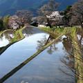 『三重県・三多気の桜』