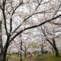 写真: 桜の下を独り占め!