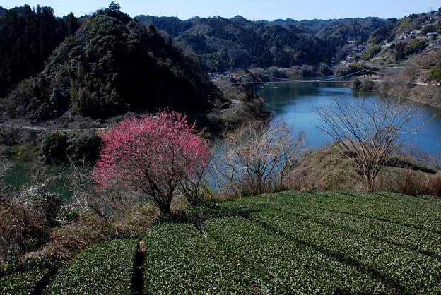 2007.03.01-早春の茶畑と月ヶ瀬湖【蔵出し】