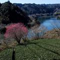 写真: 2007.03.01-早春の茶畑と月ヶ瀬湖【蔵出し】