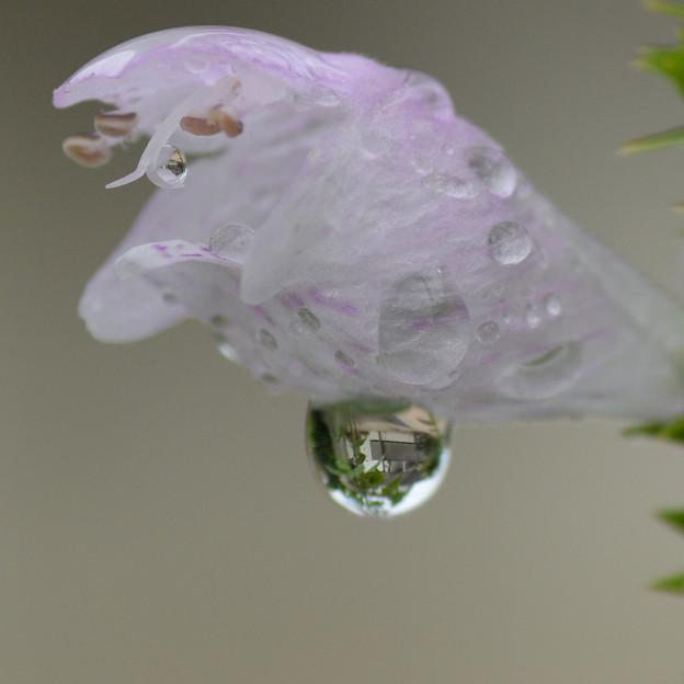 カクトラノオ:水滴の魚眼レンズ