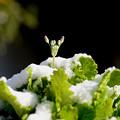 写真: 淡雪の桜草