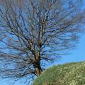 写真: ちはやあかさか:スイセンの丘