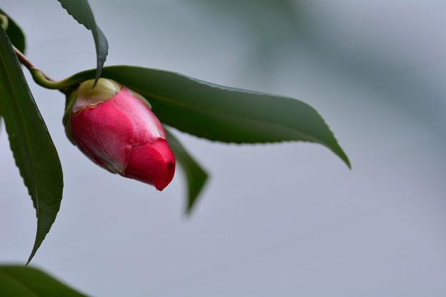 春日を待つ椿