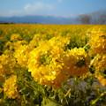 写真: 黄色い春
