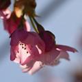 河津桜のランプ