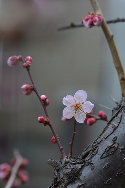 写真: 庭の花梅