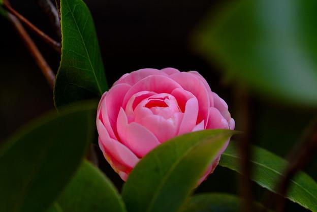 ピンクの八重椿