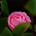 写真: ピンクの八重椿