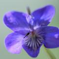 写真: 菫の花に・???