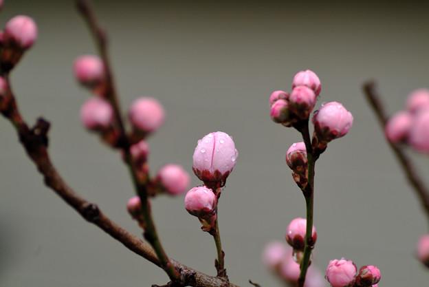 桃の形の桃の蕾