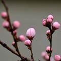 写真: 桃の形の桃の蕾