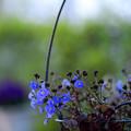 写真: ベロニカ・オックスフォードブルーの吊鉢
