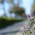 写真: 石垣のホトケノザ