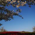 写真: 馬見丘陵公園:チューリップの丘
