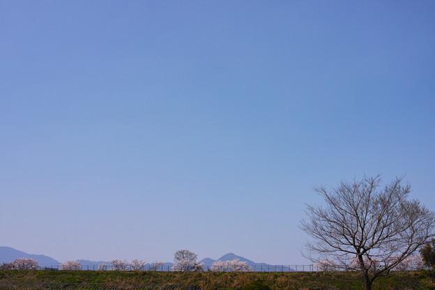 二上山(ふたかみやま)遠望の桜並木