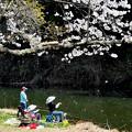 写真: 釣りより桜吹雪