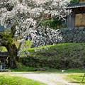 Photos: 老桜とカメラマン