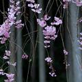 八重紅枝垂桜:吉野杉をバックに