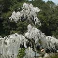 Photos: 大野寺のコイトシダレザクラ