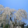 Photos: 大野寺のコイトシダレザクラ(2014)