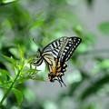 写真: アゲハチョウの産卵