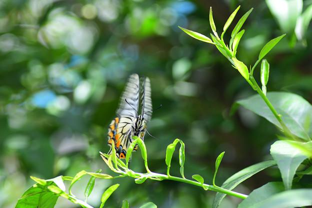 写真: アゲハチョウとにらめっこ