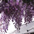 写真: 古寺と藤と八重桜