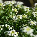 Photos: 野生のクレソンの花