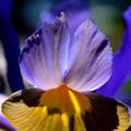 Photos: 光るダッチアイリスの花ビラ
