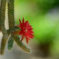 紐サボテン:「白檀」の花