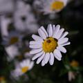 Photos: ヒメマルカツオブシムシ?