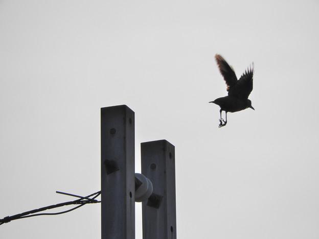 飛び立つイソヒヨドリ