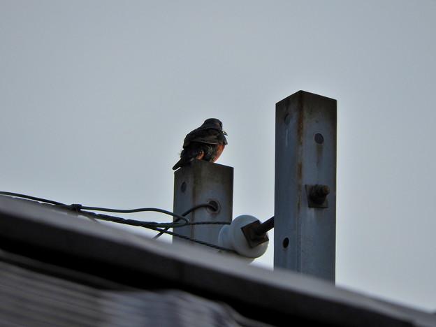 写真: 夕焼け待ちのイソヒヨドリ