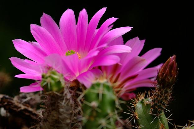サボテン:美花角の花