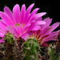 写真: サボテン:美花角の花