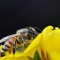 写真: 蜜蜂
