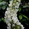 写真: ビッグな柏葉紫陽花