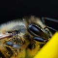 写真: ミツバチの複眼