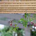 写真: 蔓薔薇雨情