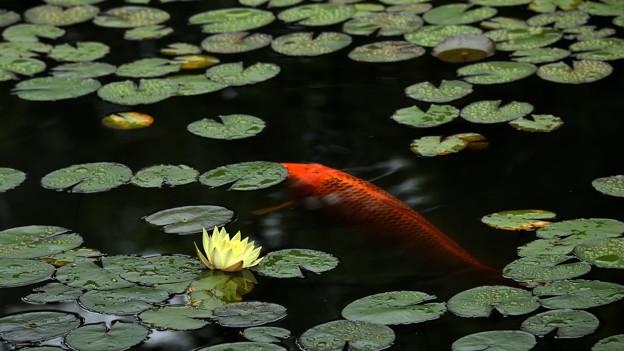 黄睡蓮と緋鯉