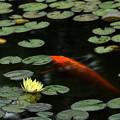 写真: 黄睡蓮と緋鯉