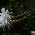 写真: サボテン:花盛丸の開花