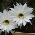 写真: サボテン:花盛丸の花