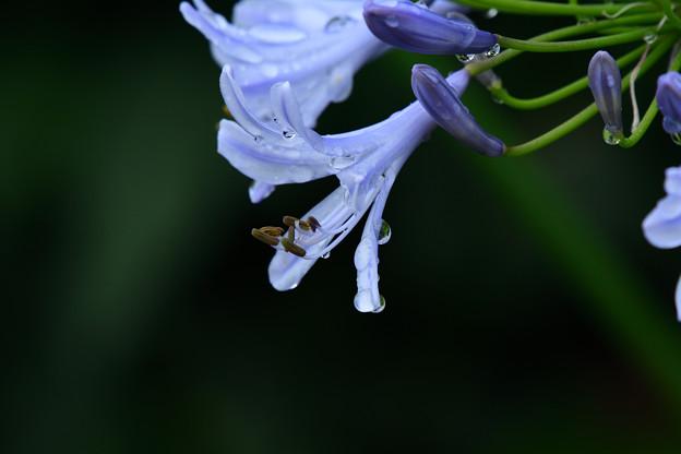 紫君子蘭のしずく