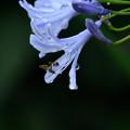 写真: 紫君子蘭のしずく